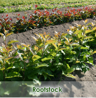 Rootstock Phl Vegetative Sweet Cherry Trees Nursery Farm Wieczorek